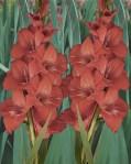 Vierdaagse-gladiolen